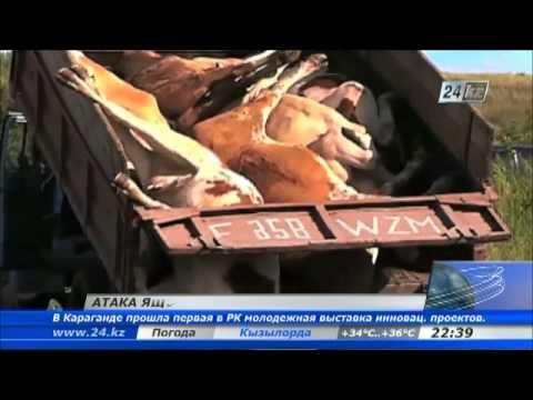 Свыше 1300 голов уничтожено в ВКО из-за вспышки ящура