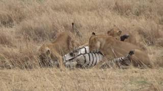 Nonton Pride Of Lions Killing A Zebra    Serengeti 2016 Film Subtitle Indonesia Streaming Movie Download