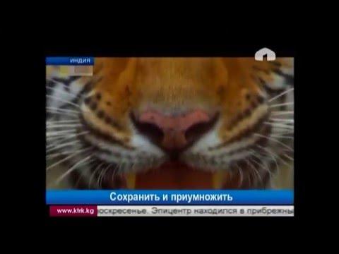 Пути сохранения снежных барсов и тигров