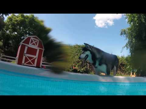 Tonka The Alaskan Malamute Puts His Nose Underwater And Blows Bubbles