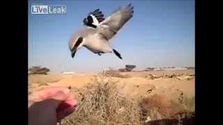 Video ★LiveLeak - Masked shrike and blackstart at the hand- slow-motion MP3, 3GP, MP4, WEBM, AVI, FLV Oktober 2018