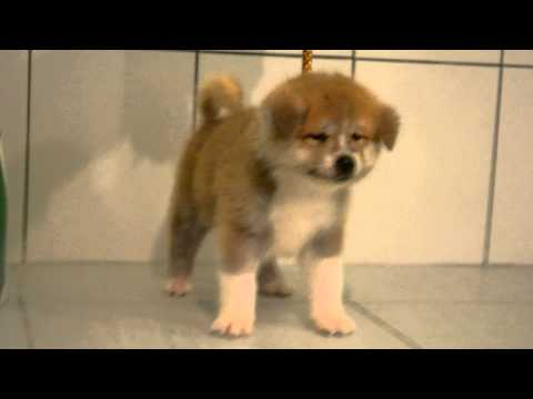 akita inu puppy available