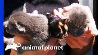 Kittens Rescued From Hoarding Situation Nursed Back To Health | Animal Cops Houston by Animal Planet
