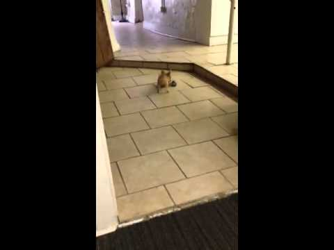 Teacup chihuahua playing fetch