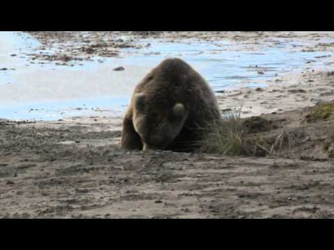 Brown Bear Plays With Sticks