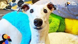 Rescue Greyhound Is The Cutest Little Diva | The Dodo by The Dodo