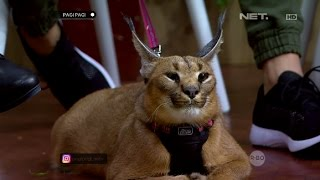 Video Kerennya Kucing Caracal Yang Bikin Kamu Tertarik Memilikinya MP3, 3GP, MP4, WEBM, AVI, FLV Agustus 2017
