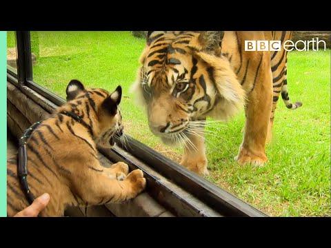 當2隻從小就被隔離的小老虎第一次看見大老虎,牠們之間的「對話」想不到會是這樣子呢!