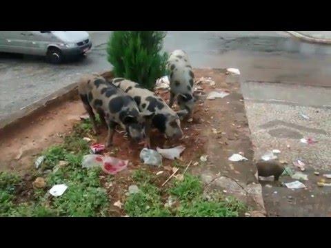 Porcos chafurdam lixo na Praça do Novo Milênio, em Guarabira