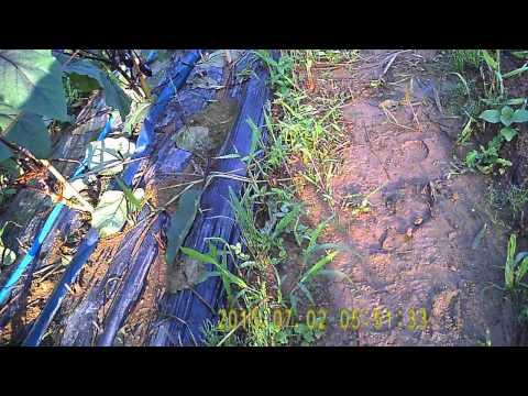 水ナスの栽培 7月2日 畑の様子