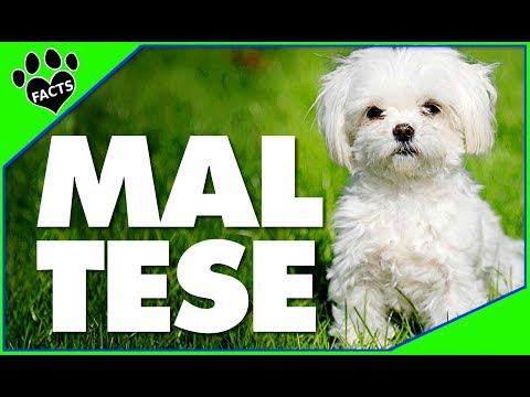 Dogs 101: Maltese Most Popular Dog Breeds - Animal Facts