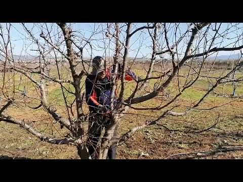 Agrosostenibiliad: ciruelo, poda de árboles adultos