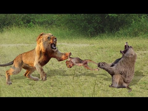 MOTHER MONKEY FAILED TO SAVE THE BABY MONKEY FROM LION HUNTING | Lion Hunting Monkey