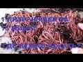 Download Lagu ✅1ЛИТР ЧЕРВЕЙ ЗА 15 МИНУТ- ГДЕ НУЖНО КОПАТЬ Mp3 Free