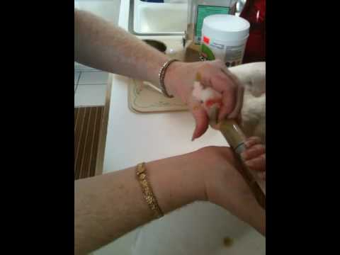 Major Mitchell Cockatoo Hand Feeding Video 12 weeks old. Step by Step