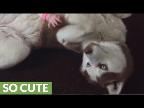 siberian husky gioca con un neoanto