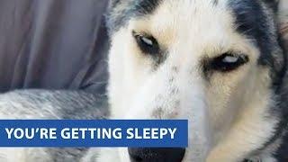 animale un Husky somnoros
