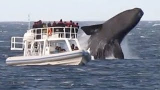 Video Huge Whales Swimming and Jumping Close To Boat MP3, 3GP, MP4, WEBM, AVI, FLV September 2018
