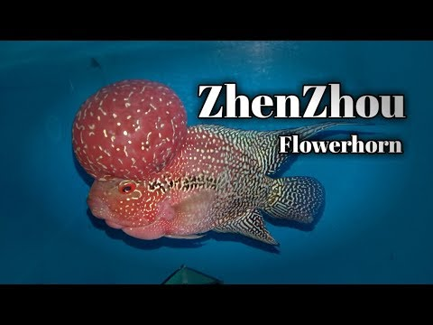 FLOWERHORN Strain - Zhenzhou | The Characteristics (tagalog With English Sub) Hendrix Backyard