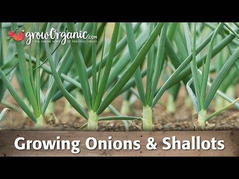 Growing Onions, Leeks, and Shallots