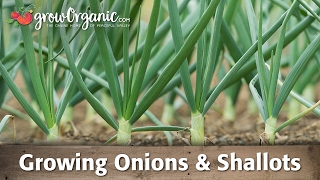Growing Onions, Leeks, and Shallots
