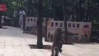 Monyet Naek Sepeda Nabrak Pohon