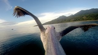 Pelican Learns To Fly