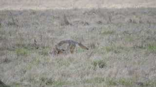 Video footage of a lone coyote hunting in the Ridgefield Wildlife Refuge taken on 02/22/2012