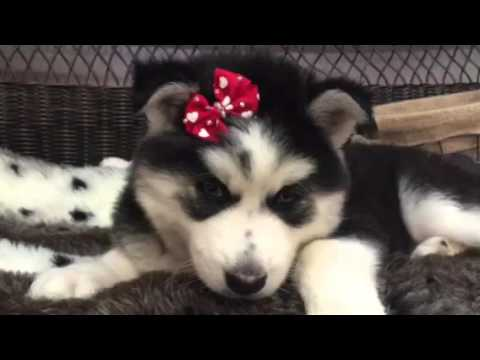Gorgeous female Husky! Must see!