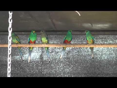 Mulga Parrots   BirdSpyAus