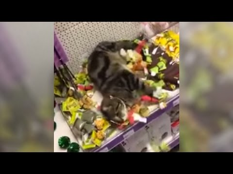 Cat Gets Lost In Pet Store....Gets HIGH On Cat Nip [Video]
