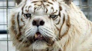 Video gagal kawin,harimau ini jadi buruk rupa MP3, 3GP, MP4, WEBM, AVI, FLV Agustus 2017