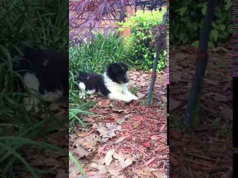 AKC Bi black Shetland sheepdog