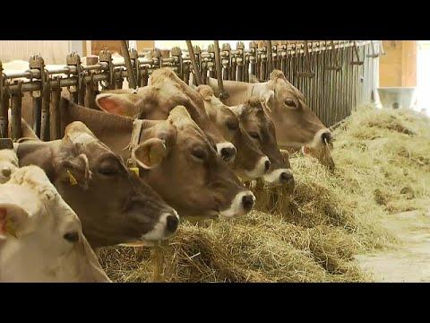 Trockenheit: Futter-Knappheit für Milchkühe - Rückgriff auf die Winterreserve