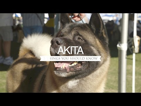 AKITA FIVE THINGS YOU SHOULD KNOW