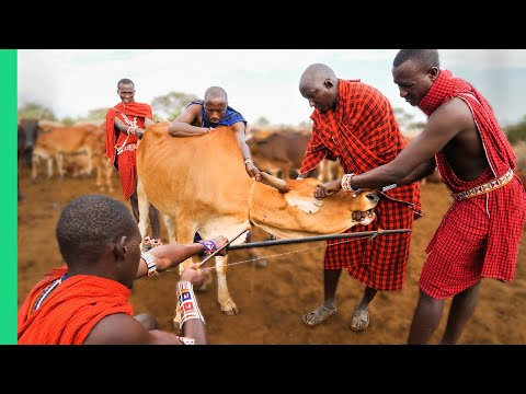 RARE Cow Bleeding ritual in Kenya! (Already Demonetized / Support us on Patreon!)
