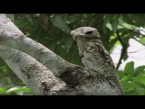 camouflaged - Animals can employ the most incredible tactics to remain hidden from view. Maddie unveils the top ten camouflaged creatures. Subscribe to Earth Unplugged - h...