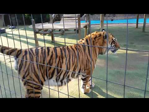 Why do tigers pee on You?