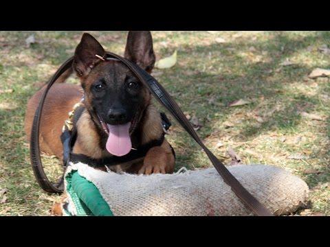 Video Curso Adestramento de Cães de Guarda - Primeira Fase, Estímulo da Caça download in MP3, 3GP, MP4, WEBM, AVI, FLV January 2017