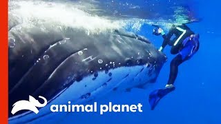 Humpback Whale Tries To Save Diver From Tiger Shark | Weird, True & Freaky by Animal Planet