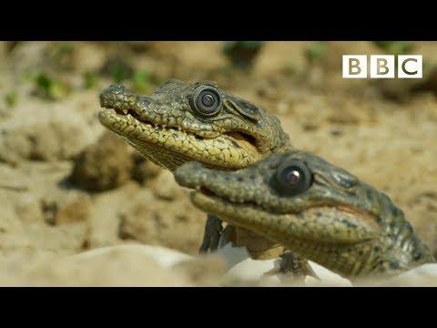 這群人讓「假鱷魚寶寶」混入蛋堆裡進行拍攝,沒想到竟拍到鱷魚媽媽一口吃掉全部寶寶…!