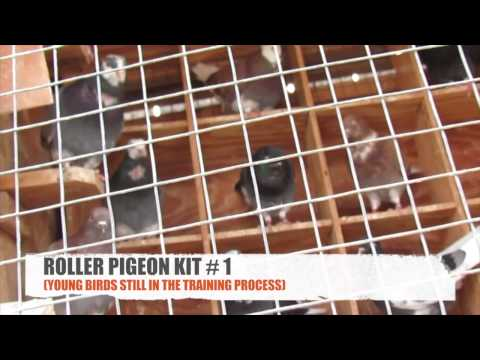 roller pigeons - Seven Star Media brings you