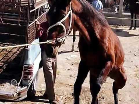 girl slaughter animal