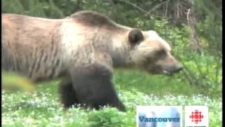 Video Grizzly Bears Charge on a Photographer (from CBC) MP3, 3GP, MP4, WEBM, AVI, FLV Mei 2017