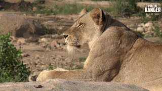 The Othawa pride and the Golden mane/3 Tooth Majingilane posing beautifully in the morning sun along the river.Filmed at Idube Game Reserve in the Sabi Sand Wildtuin, Greater Kruger National Park, South Africa (http://www.idube.com/static)Filmed in 4K UHD resolution using the Sony AX100 video cameraSubscribe for more great wildlife clips: http://goo.gl/VdOHuSFollow #nowfilming on social networks for LIVE photo updatesROB THE RANGER WILDLIFE VIDEOS on Social Networks:TWITTER: http://goo.gl/U8IQGfBLOG: http://goo.gl/yJJ3pTFACEBOOK: http://goo.gl/M8pnJhGOOGLE+: http://gplus.to/robtherangerTUMBLR: http://goo.gl/qF6sNS#YouTubeZA#YouTubeSSA#SAYouTubers