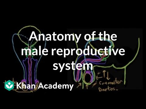 Anatomy Of The Male Reproductive System Video Khan Academy