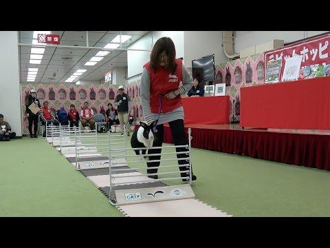 うさぎが跳ねる!走る!跳ぶ!うさぎの障害物ジャンプ競技、「ラビットホッピング」の魅力(ハイライト版)