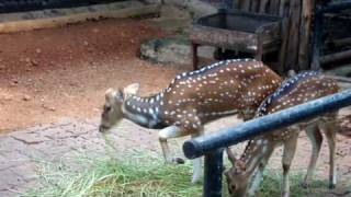 Deers Bangkok Zoo Thailand 2009