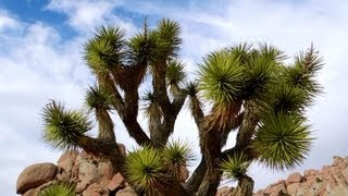 Palm Desert (CA) United States  city images : Joshua Tree, Yucca brevifolia, Palm Desert, California