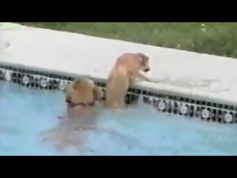 Caught on Tape Dog Saves  Drowning Puppy  | CUTE ANIMALS | Good Morning America | ABC News